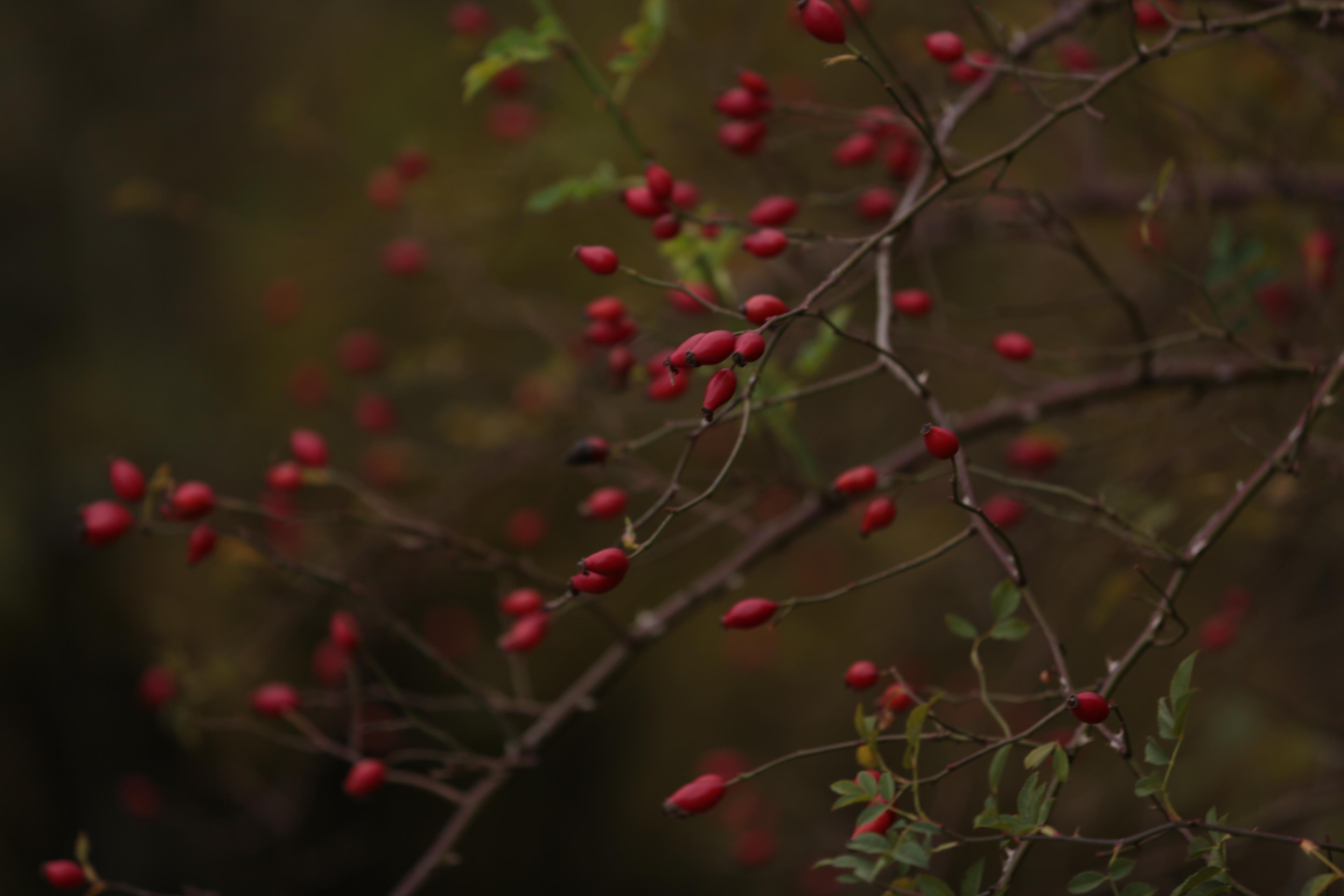 Strauchrose im Herbst